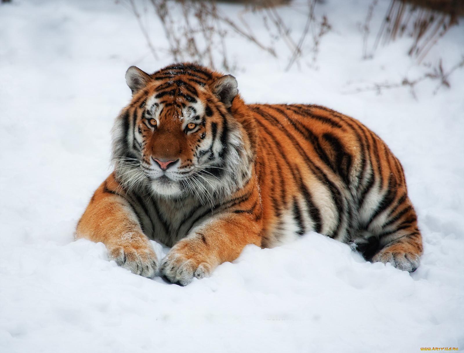 Тигр на снегу животные тигры обои для
